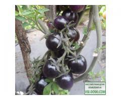 Антоциановые томаты (синие), семена на сайте скороспелка.рф