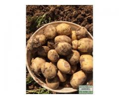 Ранний картофель урожая 2018 года